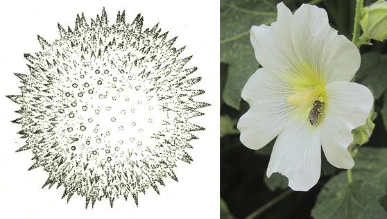 Hollyhock pollen and flower