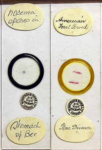 Antique slides of Nosema and American foul brood