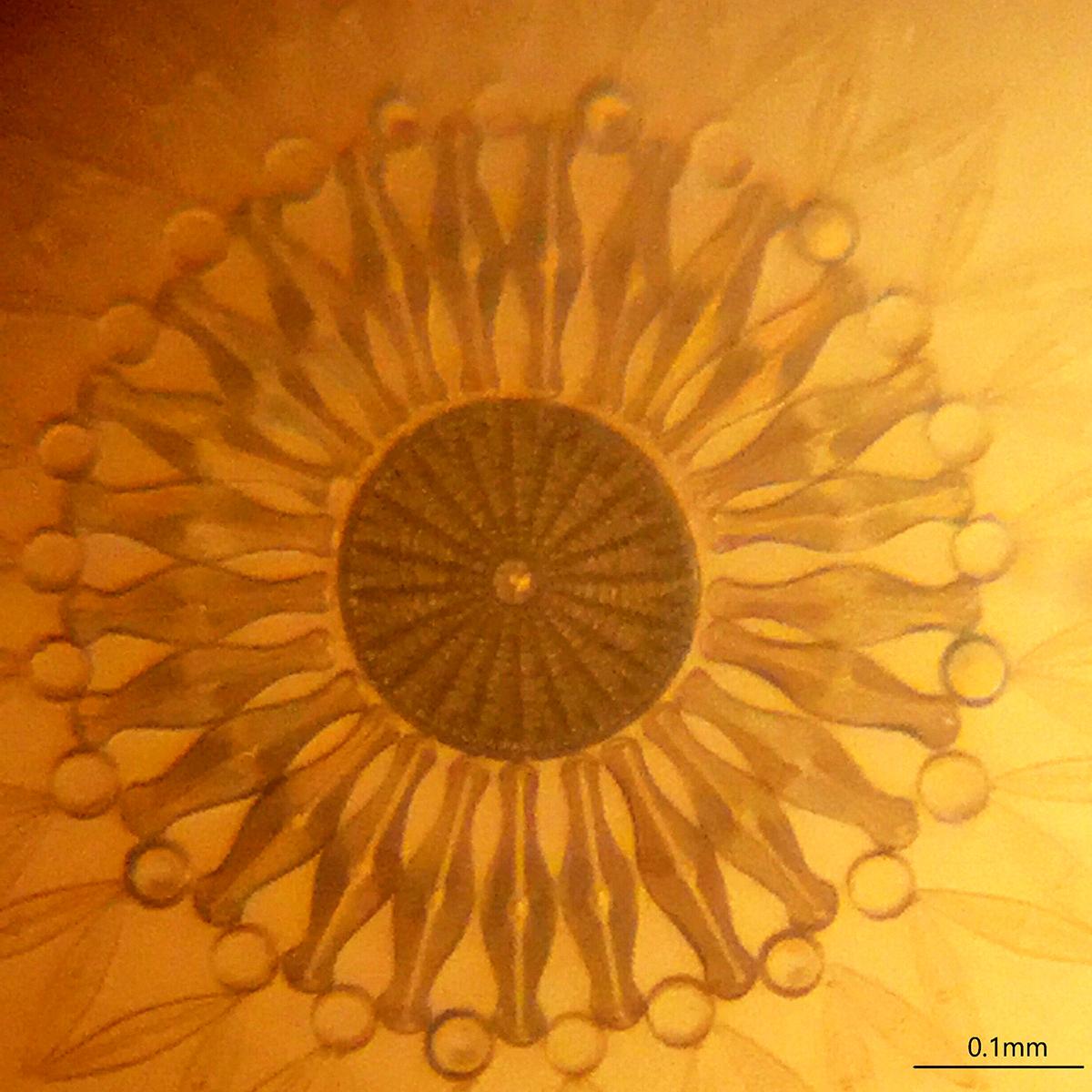 Diatoms a la Van Leeuwenhoek