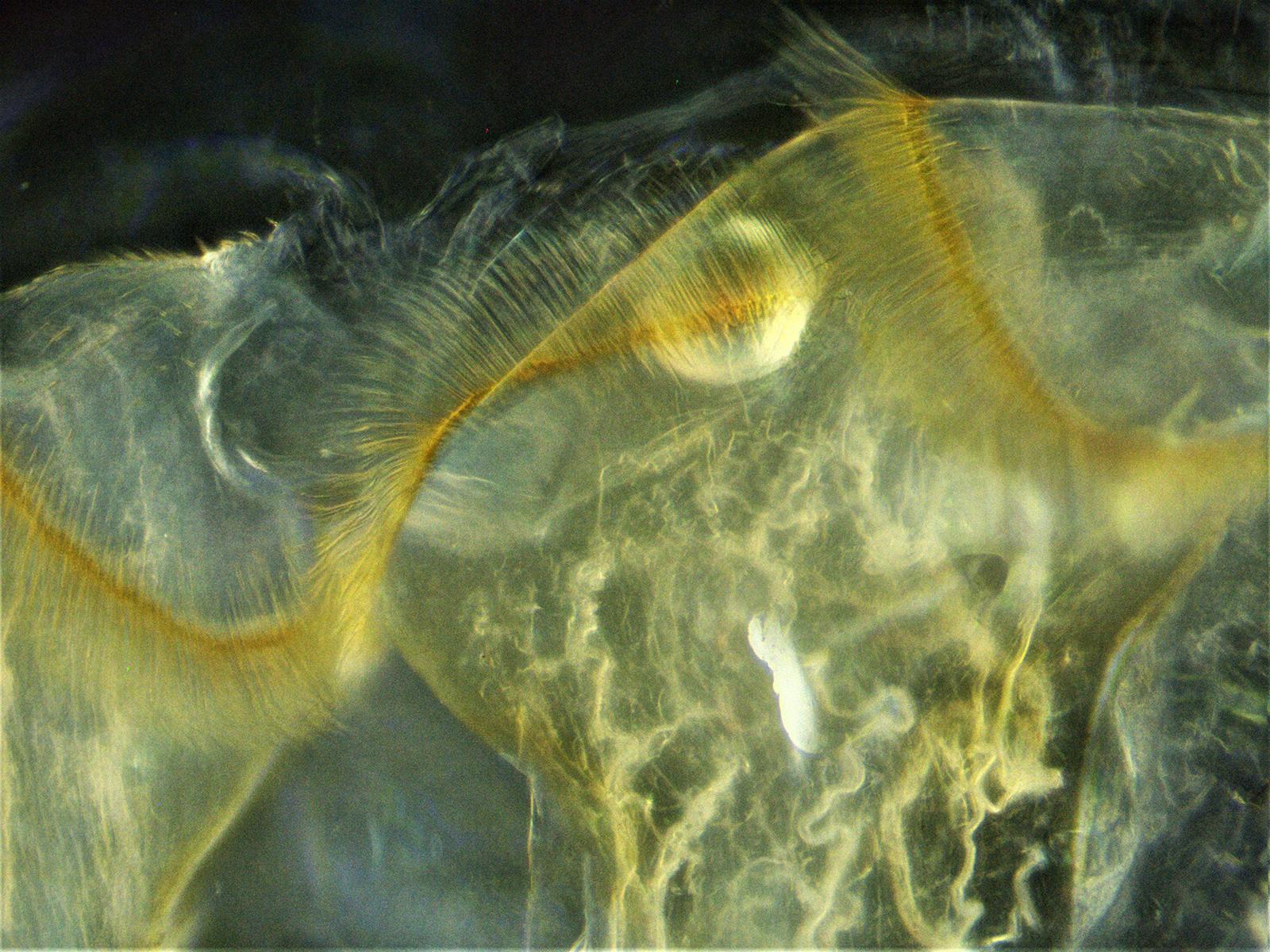 Honeybee proventriculus