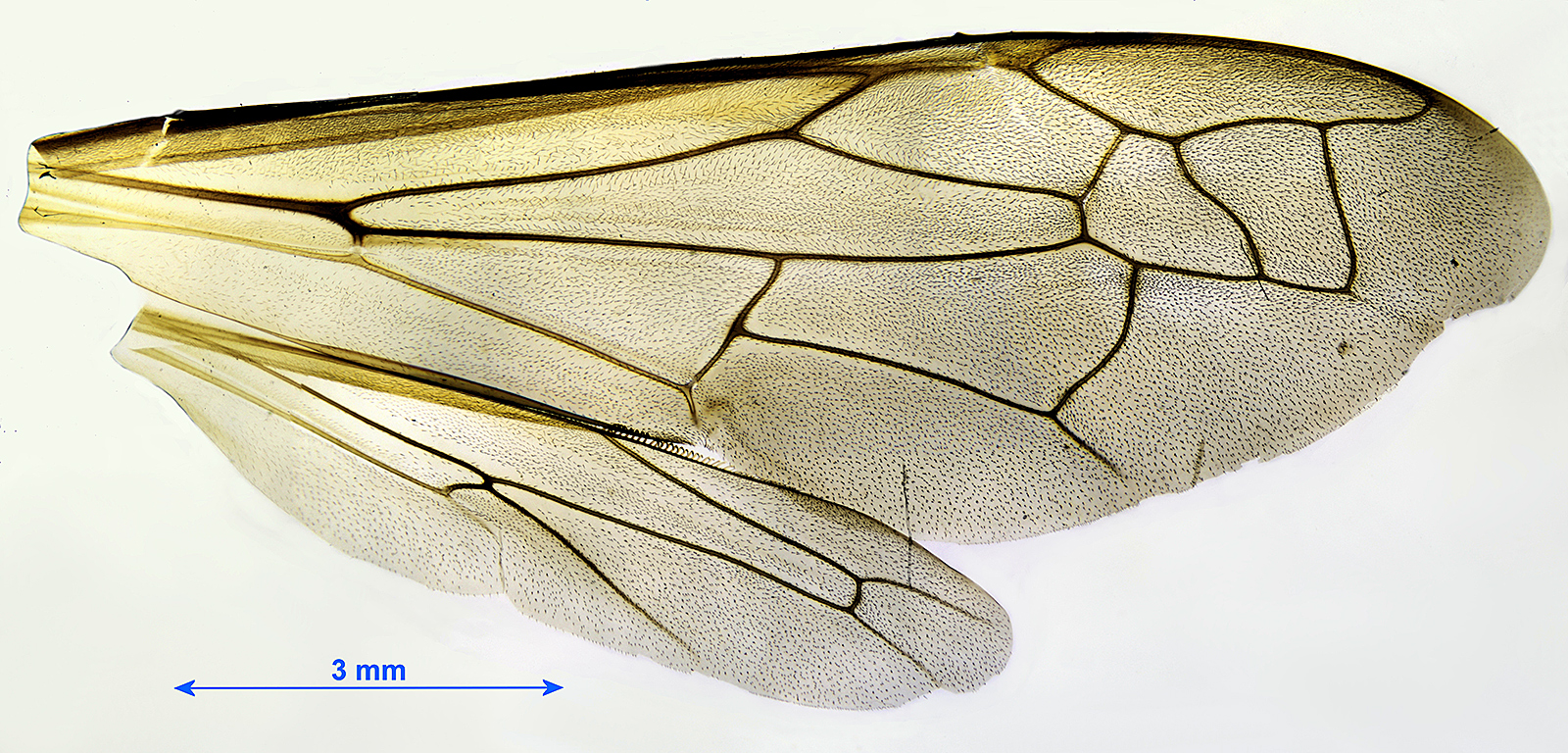 Wings of wasp worker