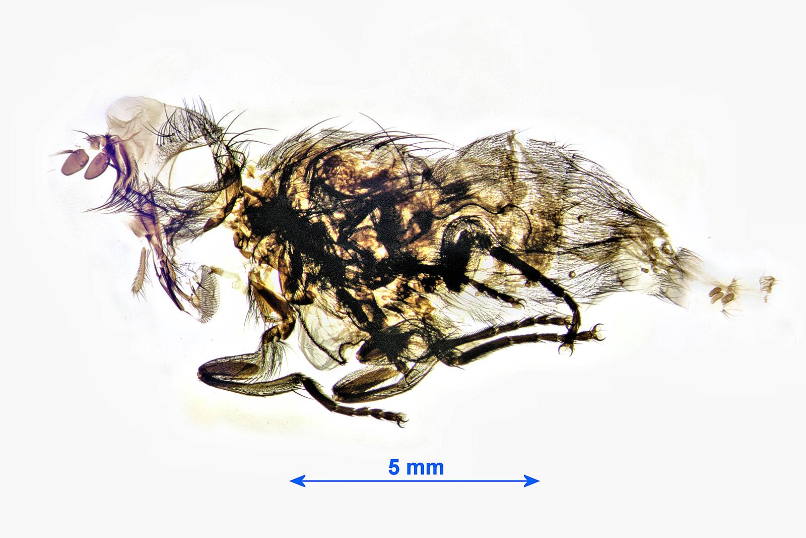 Blowfly female pupa