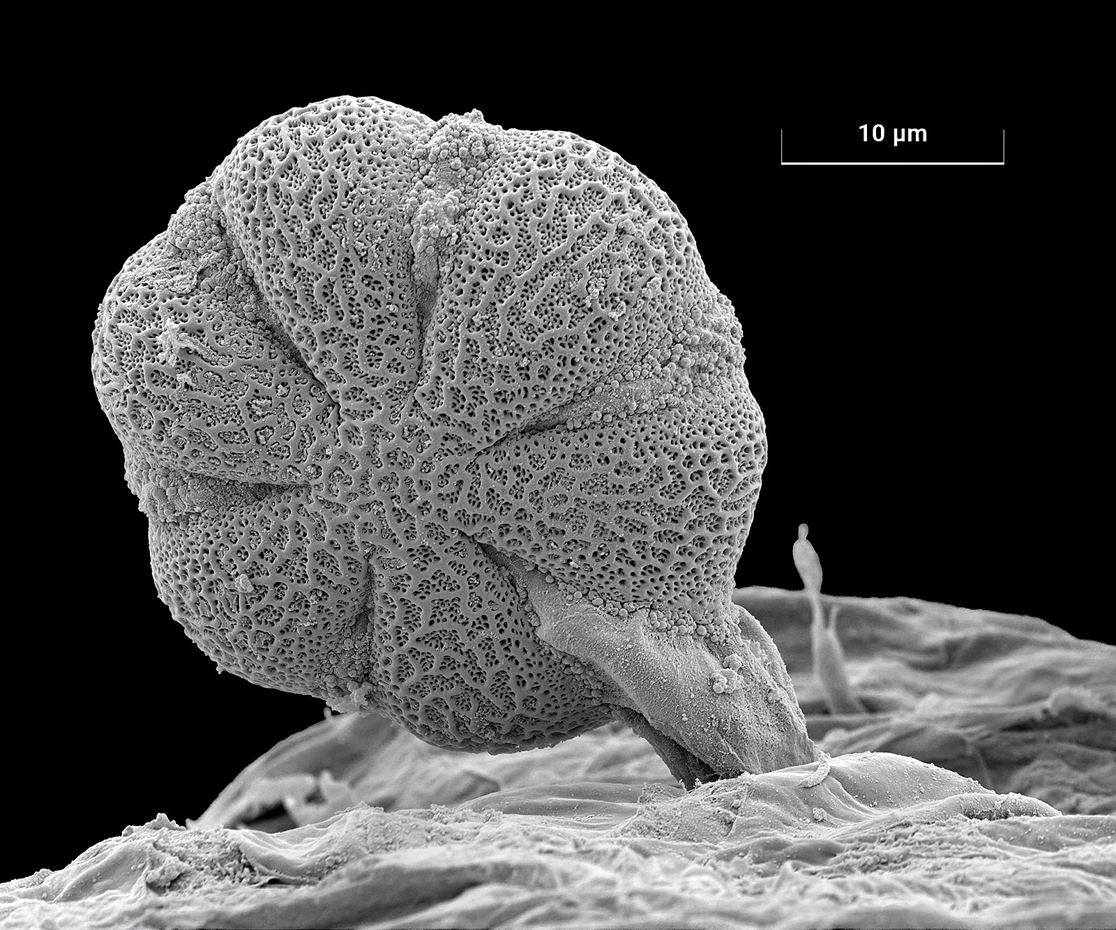 Self Heal pollen