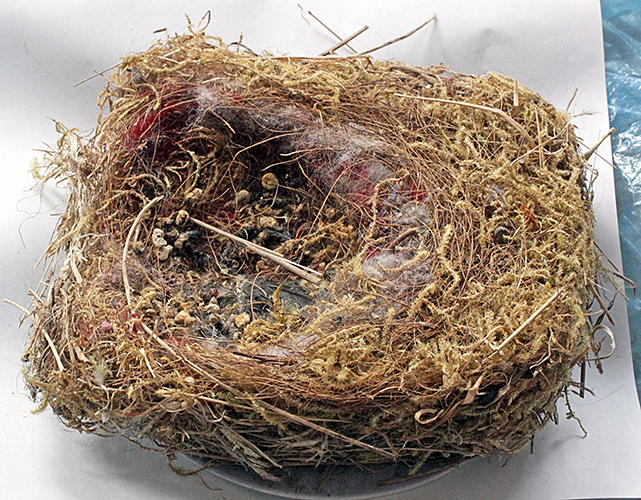 Nest of a great tit from Cobham