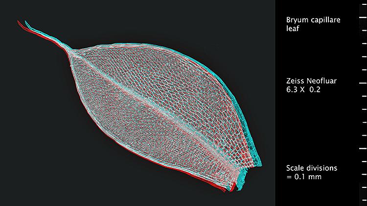Bryum capillare leaf