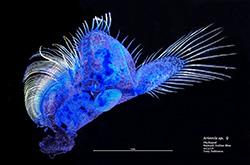 Female brine shrimp phyllopod