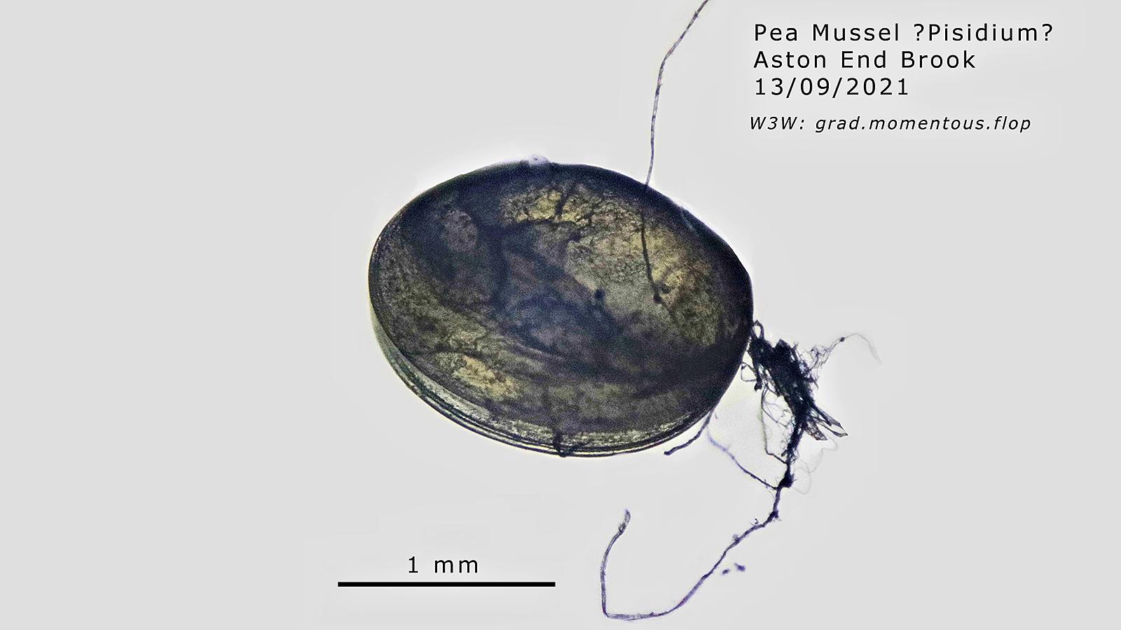 Pea mussel